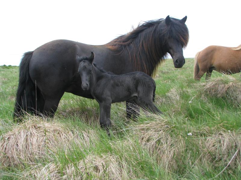 My favorite breeding mare with one of her ofsprings :) - Beautiful farm in the country, animals and nature! - Selfoss - rentals