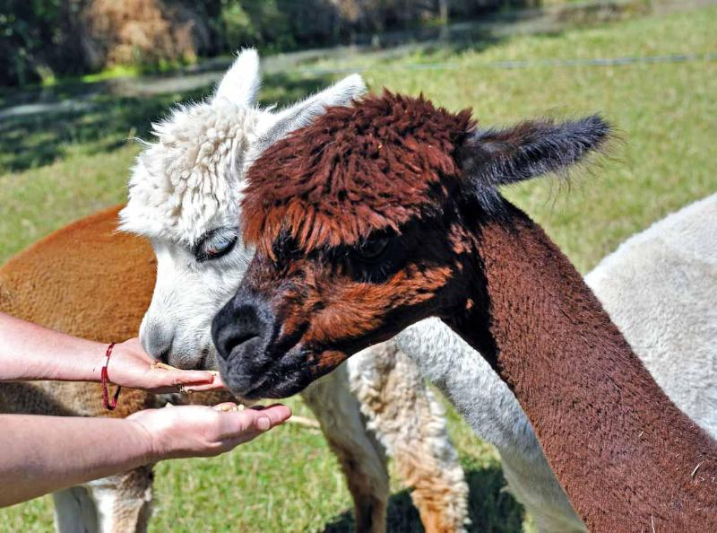 The alpacas will feed from your hand. - Miners Arms Alpaca Farmstay Bed and Breakfast - Christchurch - rentals