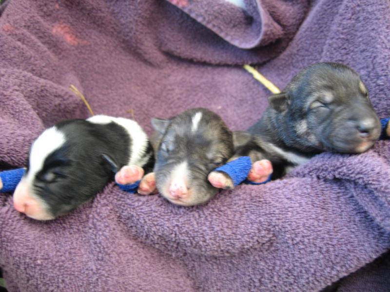 One day old Pups! - Dream a Dream Dog Farm and the Dream Inn B & B - Willow - rentals