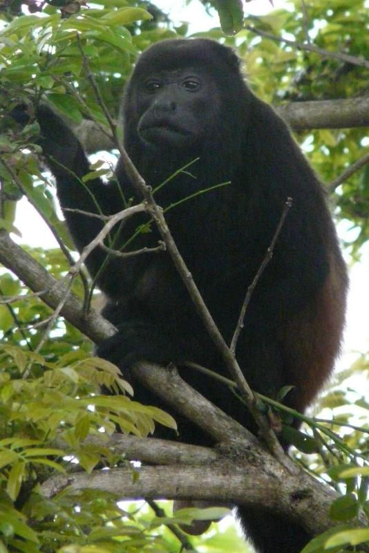 Howler monkeys willlet you know when it is 6 am and 6 pm!!! - Montezuma Beach home with views of water & jungle - Montezuma - rentals