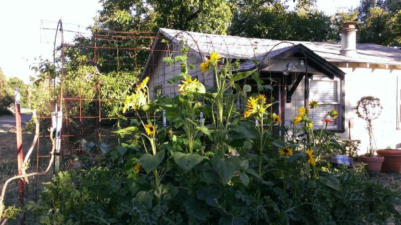 The front yard has a raised bed garden. Vegetables and flowers are available for picking. - Camp Kenwood - Near Wineries | Dog Friendly - Kenwood - rentals