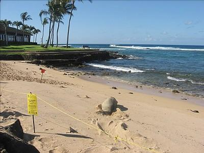 At the point across the street an endangered monk seal rests on Lawai Beach. - Oceanview Poipu Condo, Steps to Beach, $770 Week! - Poipu - rentals