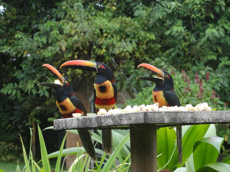 You may be greeted by our resident Aracaries. - Birdwatchers Paradise in Panama - Volcan - rentals