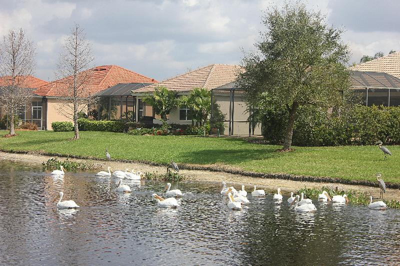 White Pelicans during winter - Tropical vacation Tara golf and country club condo - Bradenton - rentals