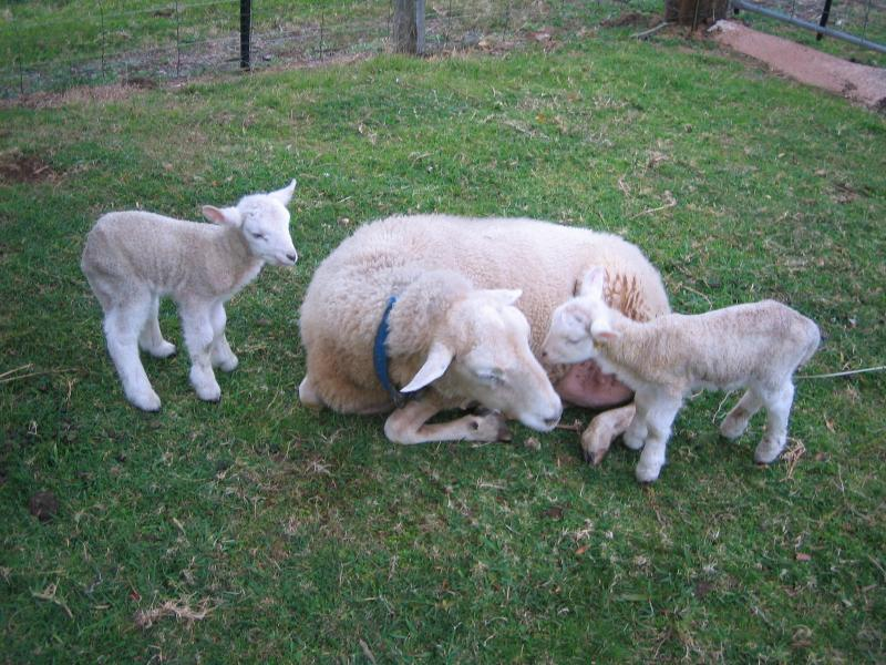 Twins for Puppus 11y old ewe - Jamberoo Australia Farmstay  Peacefull  Private - Jamberoo - rentals