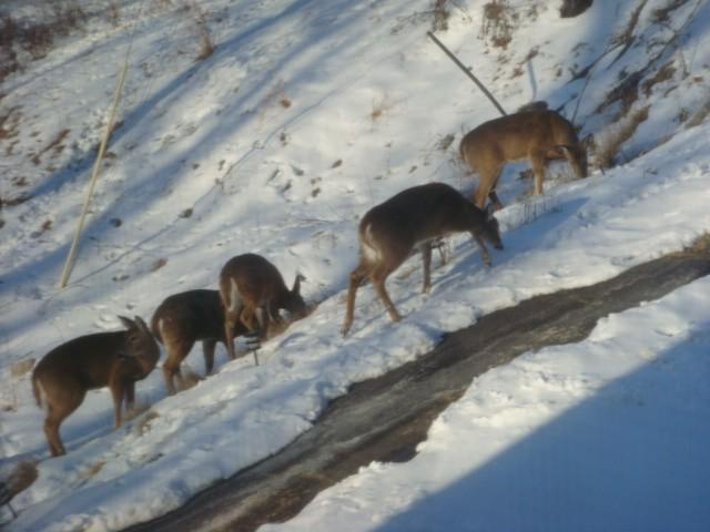 herd of deer in my driveway - Lakefront Large Home Deck/Patio/BBQGrill Pocono,PA - Bushkill - rentals