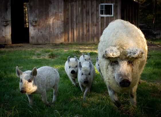 Mangalitsa pigs are raised here for sale to restaurants and private buyers. - Kate Mountain Lodge & Farm --- Iron Man Rental - Vermontville - rentals