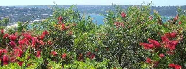 Grevillia in blossom at top of property - Balmoral Apartment - Sydney- Minimum 3 Month Stay - Sydney - rentals