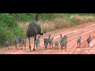 Dirt Road on the way to Diggers... emu family - Shelle Kennedy