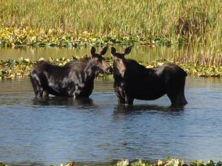 Moose! - Steamboat Vacation Rentals