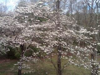 The Dogwoods are magnificent! - The Woods at Buc