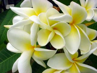 Sweet smelling plumeria blossom found throughout the island - Garden Island Properties LLC