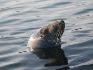 seal sleeping by my skiff as we easted up close - Clyde V Fisher