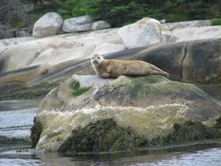 one off many  seals that sun them selfs on rocks around the bay - Clyde V Fisher