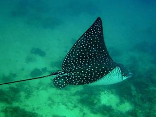 Spotted Eagle Rays are a common sight in the SigaSiga Snorket Lagoon - SigaSiga Sands Cottages