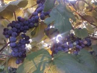 Beautiful Grapes From Our Vineyard - Jamie Like