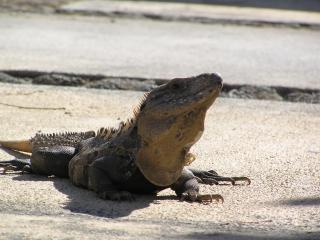 Iguanas are native and you just might spot a few crossing the road or taking a siesta on a rock! - KAREN CHRISTNER