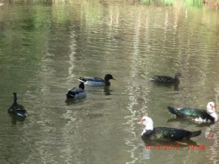 The ducks at Preston's Thicket - Preston's Thicket Cabins-Pet Friendly, Wheelchair accessible