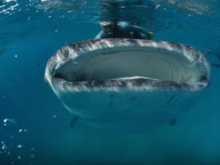 Swimming with Whale Sharks in the Philippines - Carl