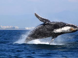 Whale jumping showing of for attention,nov to march - DANA ANDREW  DONCASTER