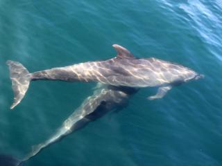Wild Dolphin will follow the boat or even your paddle board, - DANA ANDREW  DONCASTER