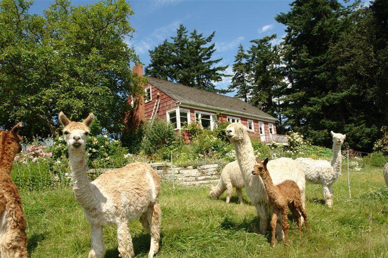 Maxwelton Aerie Alpaca Ranch  - Suri alpaca in pasture near farmhouse - Farmhouse-alpacas-fantastic views- miles of beach - Clinton - rentals