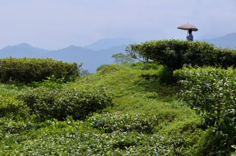 Fagu Tea Estate Heritage Bungalow - Image 1 - West Bengal - rentals