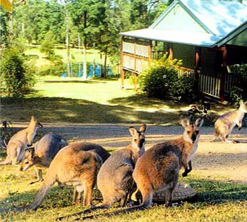 Wallabies and other variety of wildlife make Maleny Country Cottages their home. - MALENY COUNTRY COTTAGES - Maleny - rentals