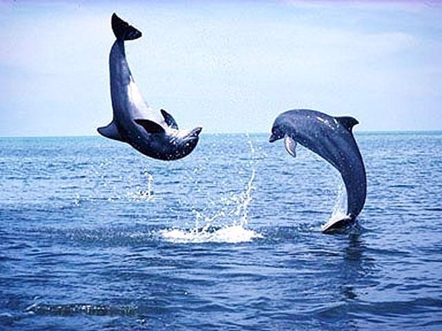 Dancing Dolphins at Marina Villa - Best Marina Villa at South Seas – Watch Dolphins - Captiva Island - rentals