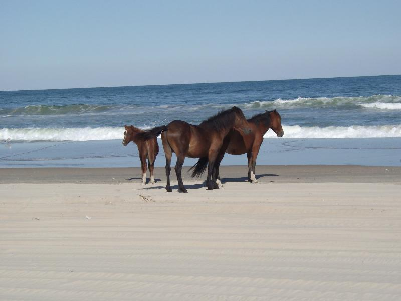 Wild Horses on the beach - Oasis - Carova Beach - rentals