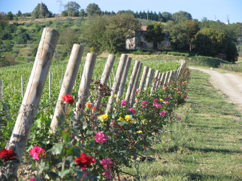 Vineyard and roses - Vitalonga - Ficulle - rentals