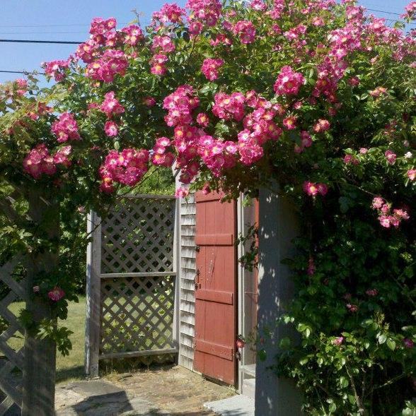 July roses over kitchen door entry - Step back into old Nantucket, walk to Steps Beach - Nantucket - rentals
